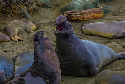Cambria Photograph - Elephant Seals Fighting On The Beach by Garry Gay