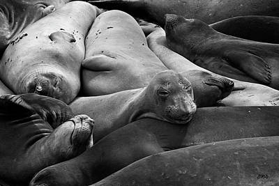Photograph - Elephant Seals I Bw by David Gordon