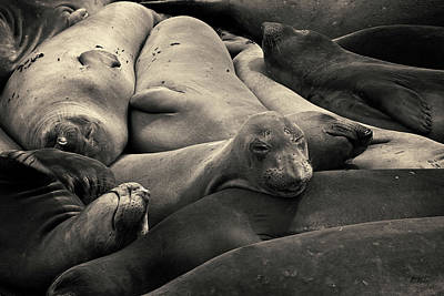Photograph - Elephant Seals I Toned by David Gordon