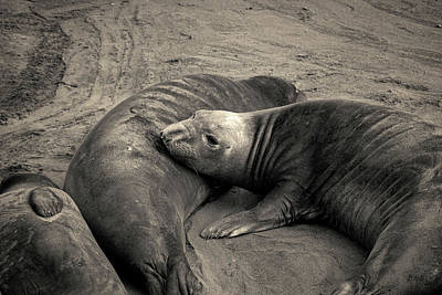 Photograph - Elephant Seals Iv Toned by David Gordon