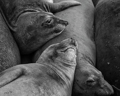 Photograph - Elephant Seals Ix Bw by David Gordon