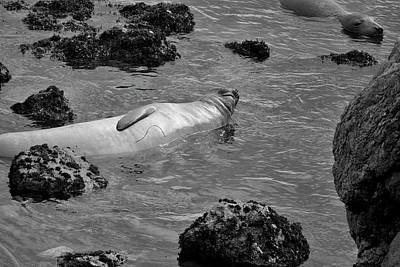 Photograph - Elephant Seals Vi Bw by David Gordon