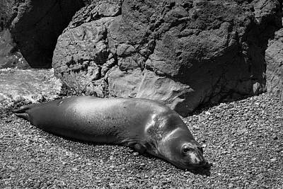 Photograph - Elephant Seals Vii Bw by David Gordon