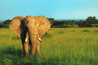 Photograph - Elephant by Sebastian Musial