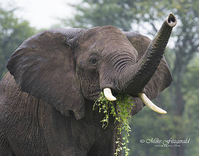 Photograph - Elephant Size Salad by Mike Fitzgerald