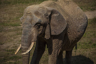 Photograph - Elephant by Stewart Scott