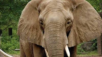 Photograph - Elephant by Toni Berry