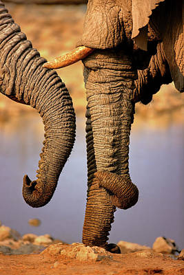 Photograph - Elephant Trunks Interacting Close-up by Johan Swanepoel
