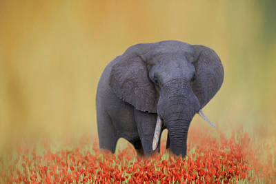 Photograph - Elephant Walking Through A Field Of Red Flowers by Kay Kochenderfer