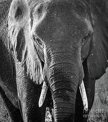 Elephant With Water Spray Black And White Art Print