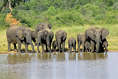 Photograph - Elephants At The Waterhole   by Tony Murtagh