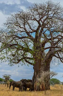Photograph - Elephants By Baobab Tree by Marilyn Burton