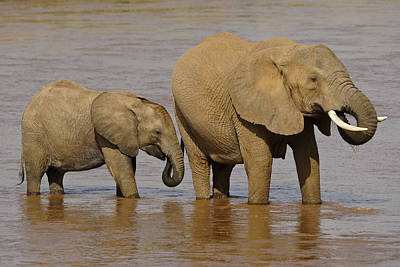 Photograph - Elephants Drinking At River by Michele Burgess