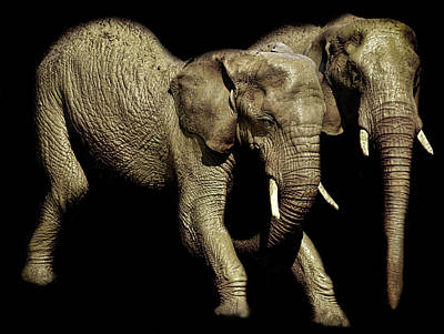 African Wildlife Photograph - Elephants Exercise by Martin Newman