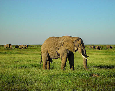 Elephants In Amboseli Original