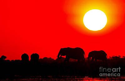 Photograph - Elephants In The Sunset At Chobe River, Botswana by Wibke W