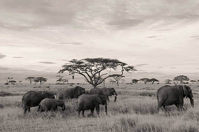 Photograph - Elephants by Stefano Buonamici