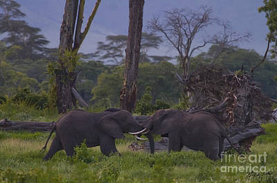 Bath Time Rights Managed Images - Elephants Testing Each Other - Signed -  #0176 Royalty-Free Image by J L Woody Wooden