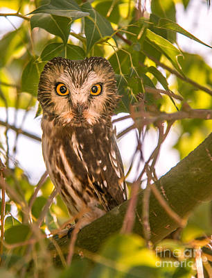 Photograph - Elf Owl by Robert Bales