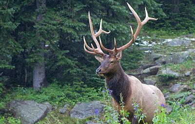 Photograph - Elk 4 by Gary Lengyel