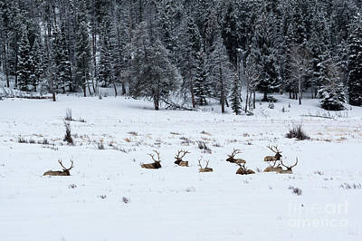 Photograph - Elk - 9134 by Jerry Owens