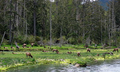 Photograph - Elk Along The River by Larry Bacon