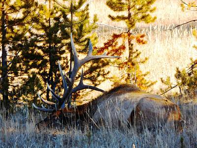 Photograph - Elk Als Yellowstone by Adam Cornelison