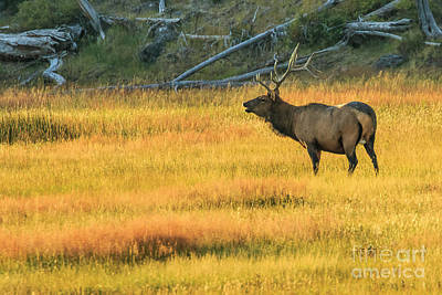 Photograph - Elk At Dawn In Yellowstone by Ben Graham