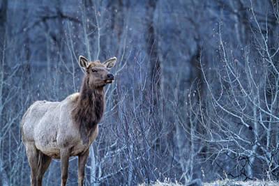 Photograph - Elk At Dusk by Belinda Greb