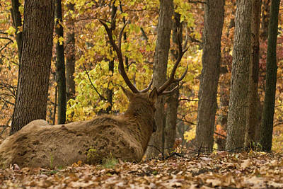 Michael Barry Photograph - Elk At Rest by Michael Barry