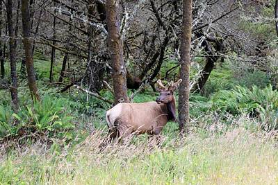 Photograph - Elk At The Edge Of The Woods  by Christy Pooschke