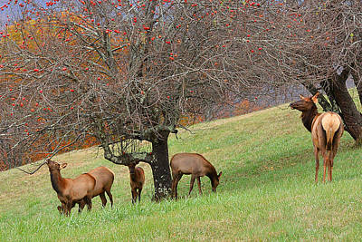 Photograph - Elk At The Orchard by Alan Lenk