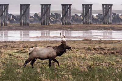Photograph - Elk At Trestle Bay by Robert Potts