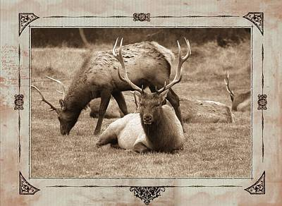 Photograph - Elk by Athala Carole Bruckner