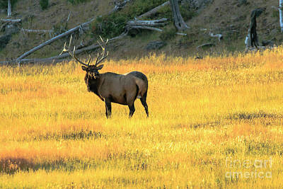 Photograph - Elk Buck Yellowstone by Ben Graham