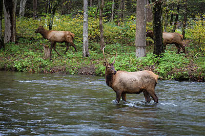 Photograph - Elks By The Stream by Tim Stanley
