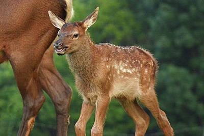 Photograph - Elk Calf Arrives by Alan Lenk