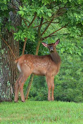 Photograph - Elk Calf Is Watching by Alan Lenk