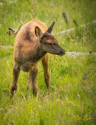 Photograph - Elk Calf by Rikk Flohr