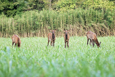 Elk Calves Art Print