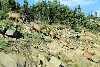 Photograph - Elk Coming Down The Mountain by Pamela Critchlow