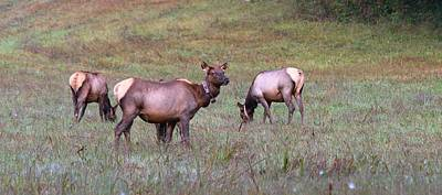Photograph - Elk Cows Grazing In The Great Smoky Mountain National Park by Carol Montoya