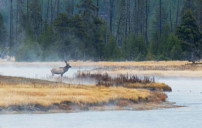 Photograph - Elk Crossing by Shari Sommerfeld