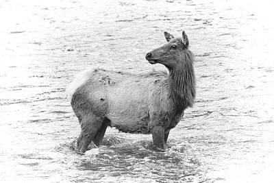 Photograph - Elk Crossing by Steve McKinzie
