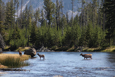 Photograph - Elk Crossing The River-wyoming by Robin Coventry