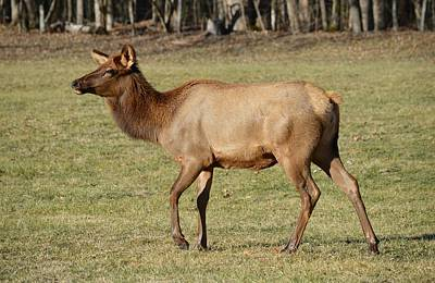 Photograph - Elk Doe - Cervus Canadensis by rd Erickson