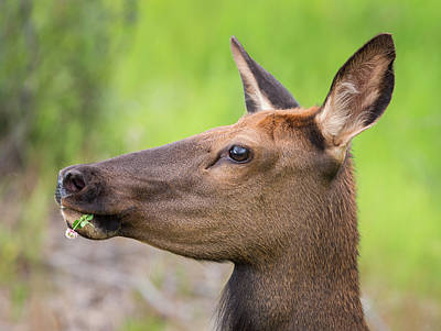Photograph - Elk Eating Clover by Loree Johnson
