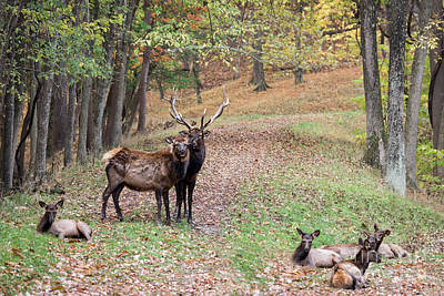 Photograph - Elk Family Portrait by Andrea Silies