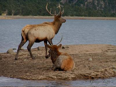 Photograph - Elk by George Tuffy