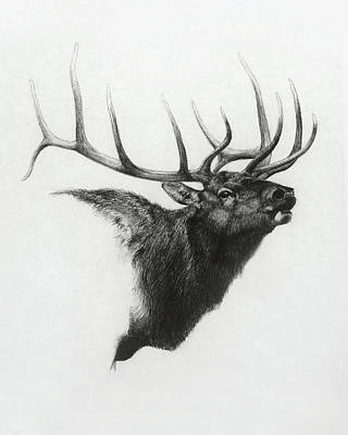 Pencil Portraits Drawing - Elk by Heather Theurer
